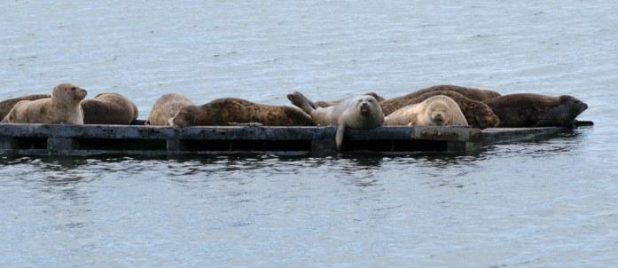 Focas en el puerto de Crescent City, California. Océano Pacífico.