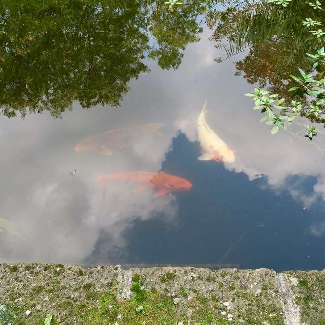 Koi Pond Reflection