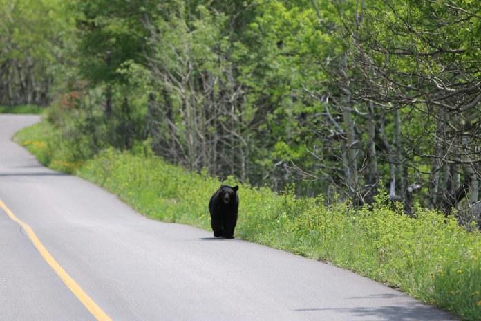 出現在道路旁的黑熊。圖片攝於加拿大艾伯塔省。圖片來源:davebloggs007 (CC BY 2.0)。