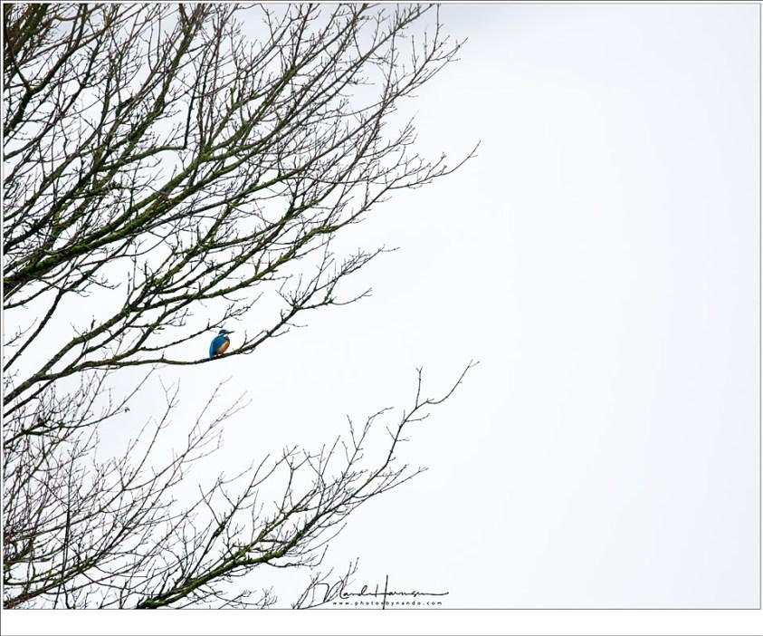 In de verte, een IJsvogel. Dichterbij kom je niet, want dan vliegt het kleine vogeltje weer een stukje verder, alsof het met opzet je steeds verder weg lokt (560mm | ISO400 | f/8 | 1/160)