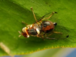 Image result for Olive fruit fly