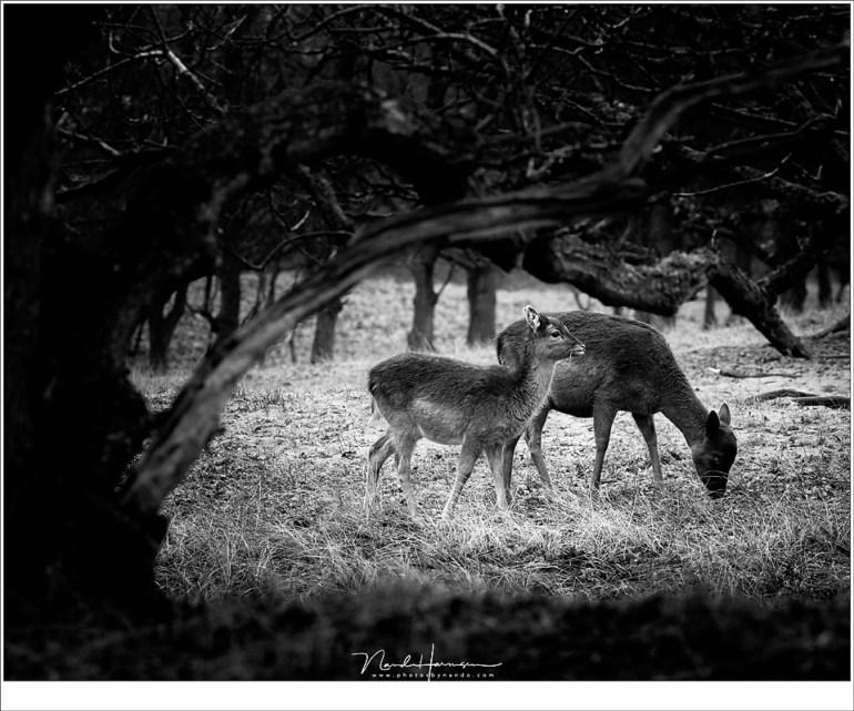 Onder een boom door, alsof de takken de damherten omarmen. (214mm | ISO2500 | f/8 | 1/160)