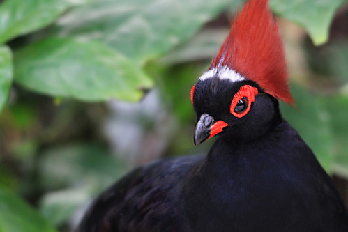 Head Of The Crested Partridge Family This Lovely Bird
