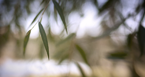 Shallow depth of field macro willow leaves bokeh