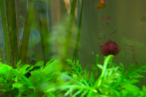 Platy and bloodworms