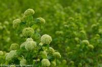 green snowball viburnum