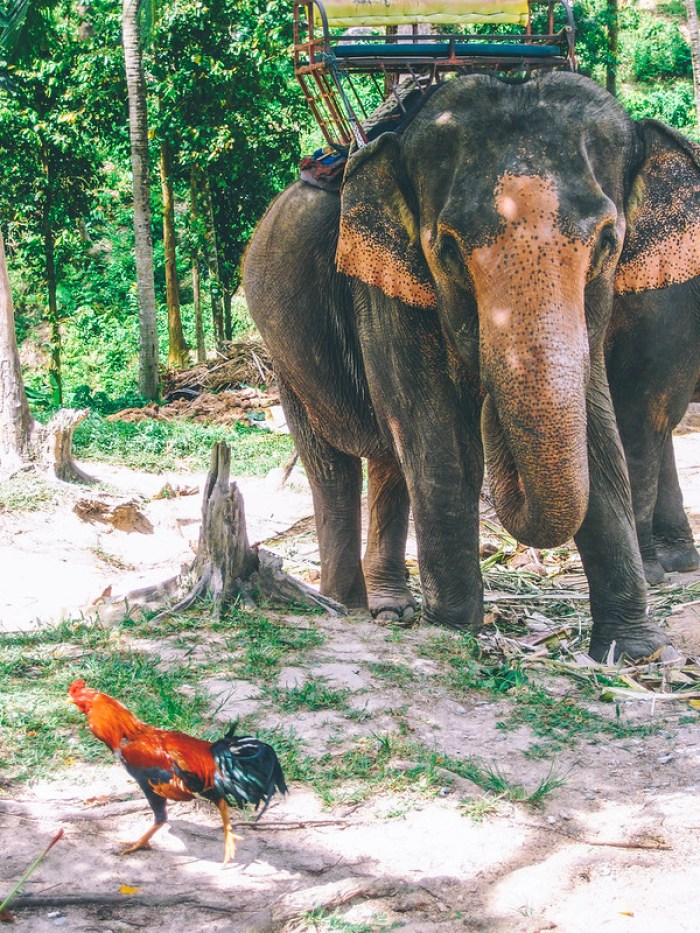 Thailand Regrets: Riding Elephants in Ko Phangan