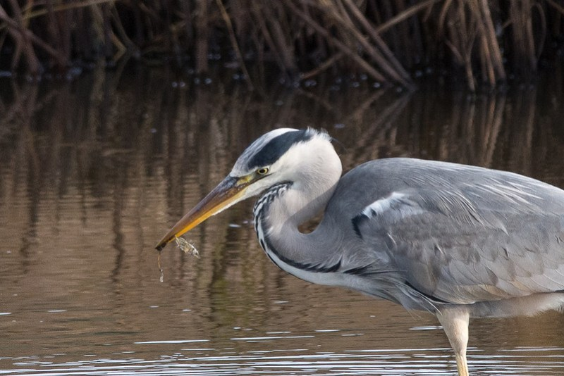 A chance for stardom is cruelly destroyed by a Grey Heron.