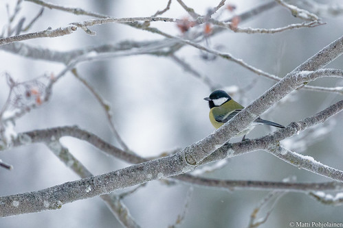 Talitiainen (Parus major), Great tit in a cold winter day