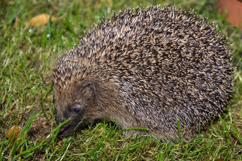 Hedgehog feeding off mealworms in garden