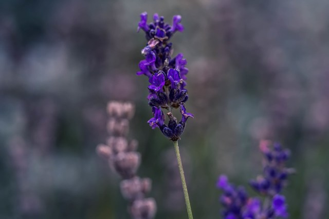 Last bit of lavender for this year......
