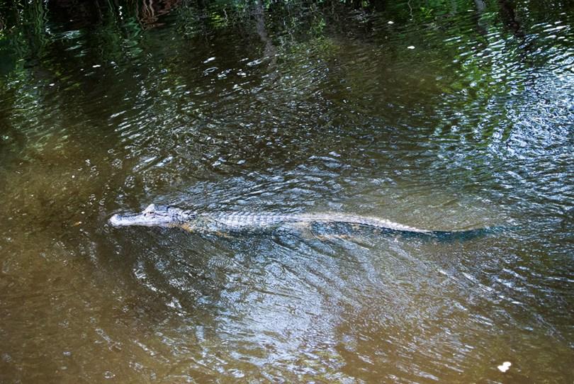 bayou-new-orleans-swamp-tour-gator