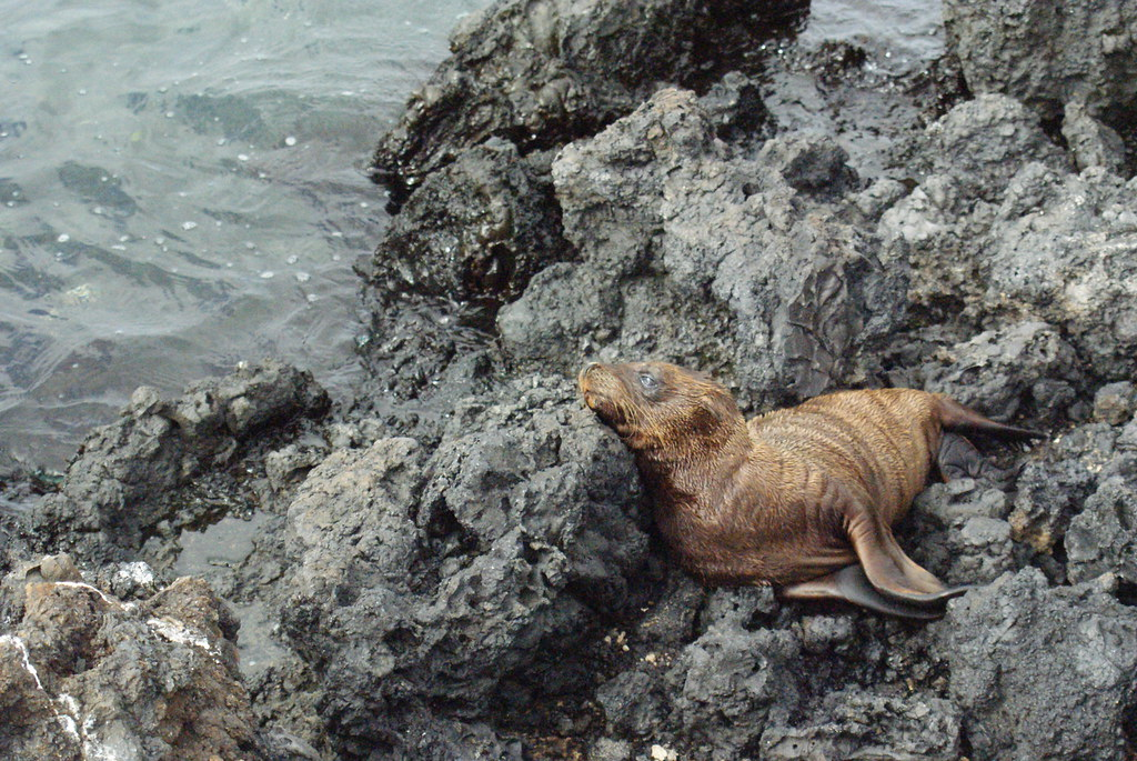 Baby Galapagos Sea Lion Zalophus Wollebaeki On Isabela
