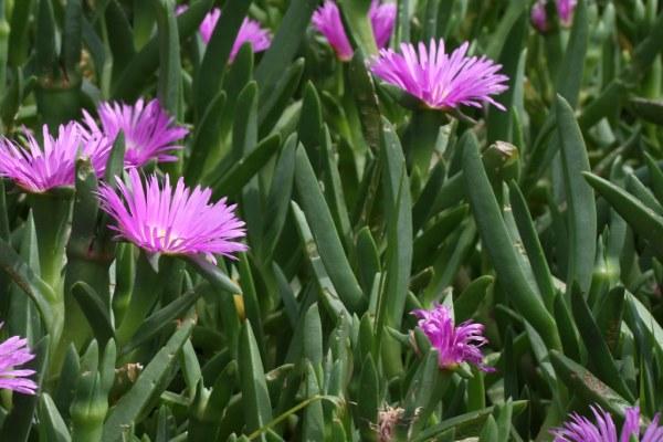 Carpobrotus rossii | Aizoaceae: Karkalla or Pig Face ...