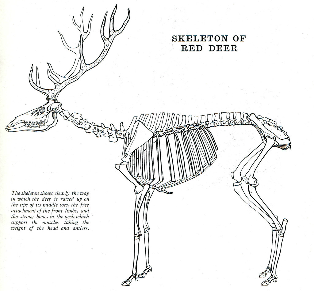 13 Red Deer By Frank A Johnson