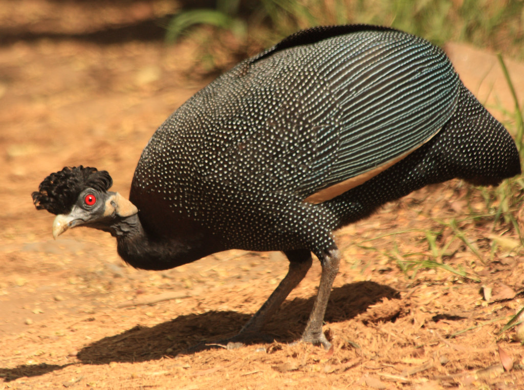 Crested Guineafowl Guttera Edouardi This Crested