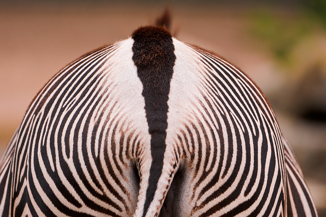 The bottom of a zebra