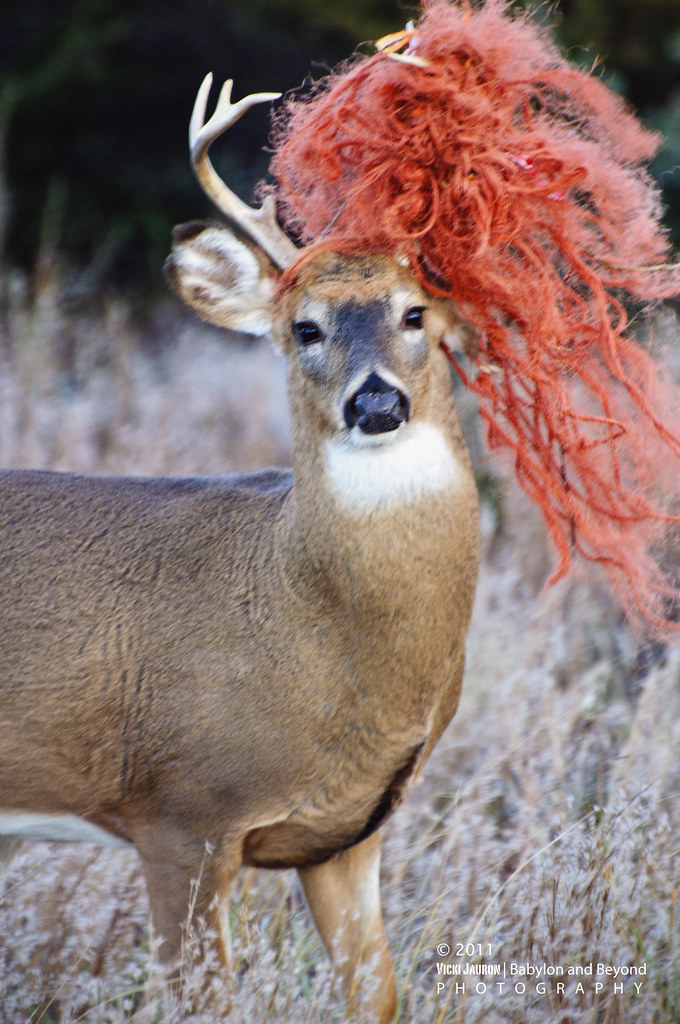Rare Ceremonial Deer With Black Paint And Bright Red Headd Flickr