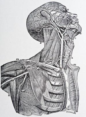 Illustration from Gray's Anatomy copyright 1872 | Mark