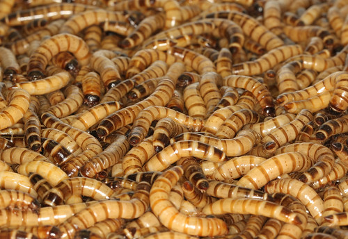 Giant Mealworms