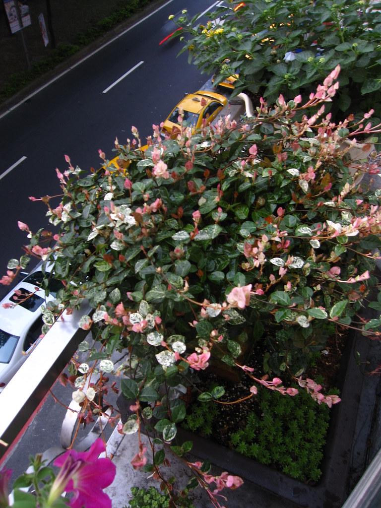 初雪葛100.7.5 | 經過一年. 冬天呈現半休眠狀態. 葉色深綠且沒有白色粉紅色的新葉.並不漂亮. 把它寄放在雷帝家… | Flickr