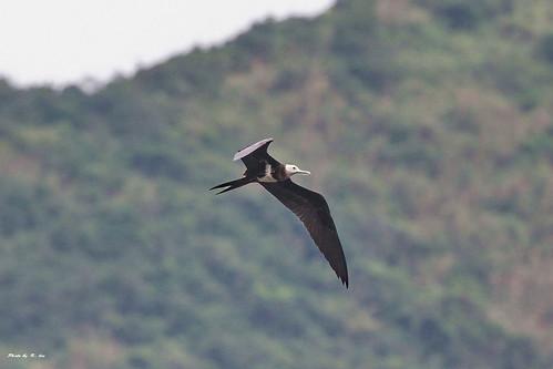 白斑軍艦鳥 Lesser Frigate bird (Juvenile) | 學名: Fregata ariel 英名:… | Flickr