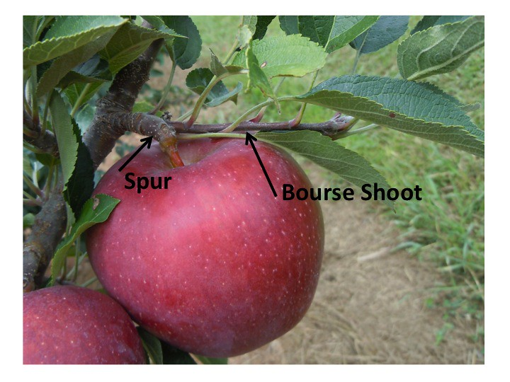 Parts of the Apple Tree  Spur and Bourse Shoot   eApples   Flickr     Parts of the Apple Tree  Spur and Bourse Shoot   by eApples