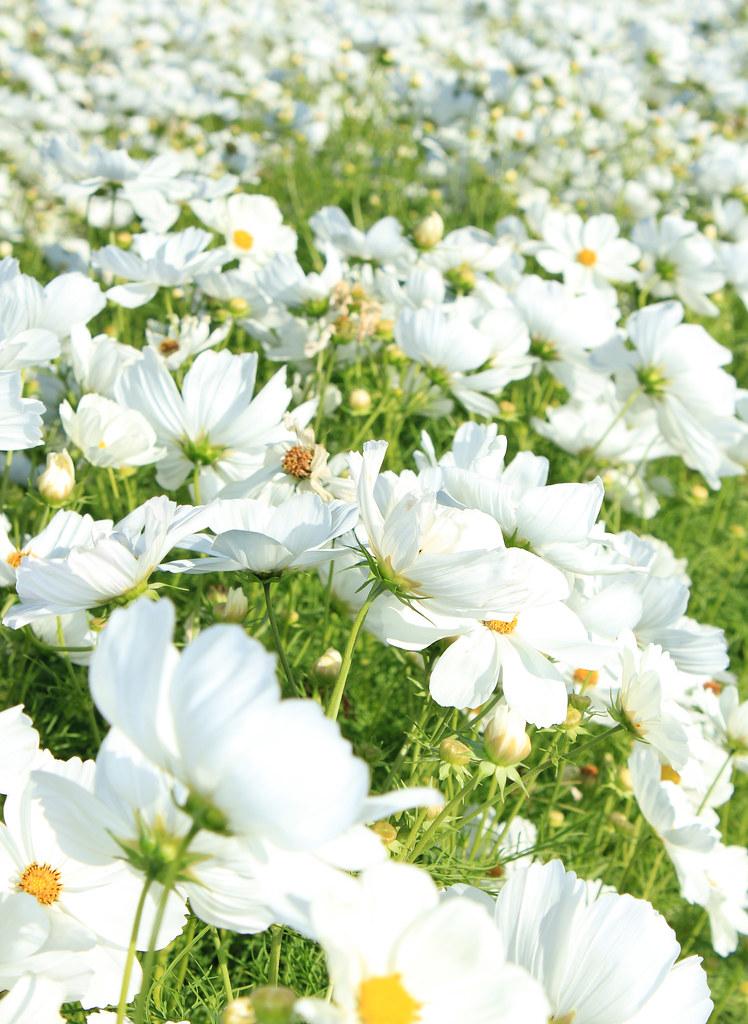 صور ورود بيضاء جميلة جدا صور ورد ابيض باقة منتقاة موقع