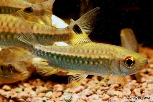 Arnoldicthys Spilopterus