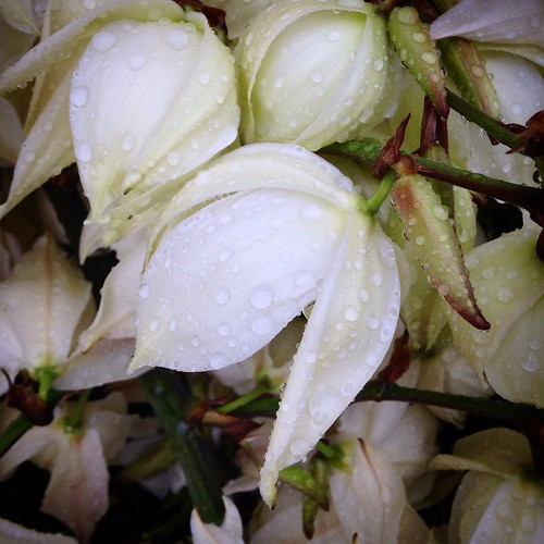 Yucca flowers in the rain