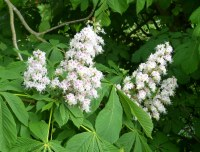 Image result for horse chestnut