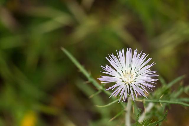 WIld thistle flower