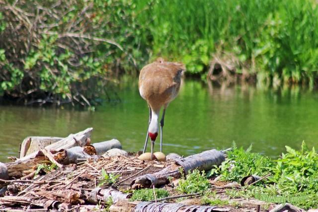 Sandhill Crane Turning Eggs 16-0514-1255