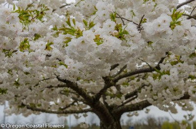 white blooming cherry trees