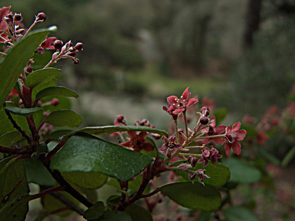 H20150205-4018—Ribes viburnifolium—RPBG