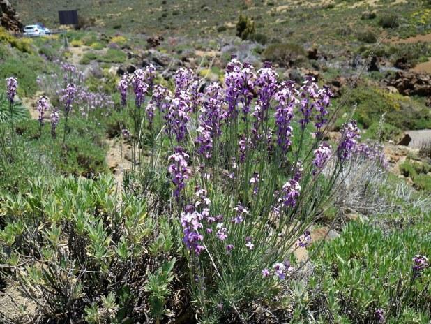 Alheli del Teide