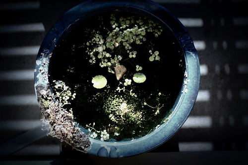 今年はまだベランダ睡蓮鉢の水草が枯れない。暖冬なのかな?