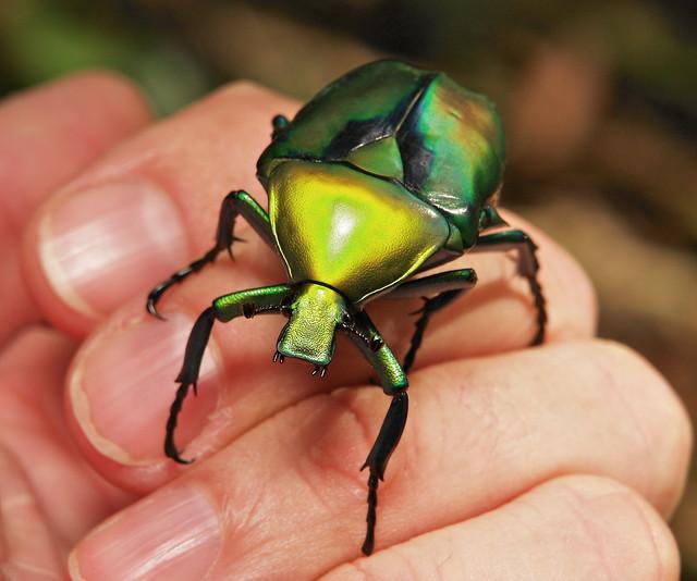Flower Beetle (Rhomborrhina resplendens, Cetoniinae, Scarabaeidae)