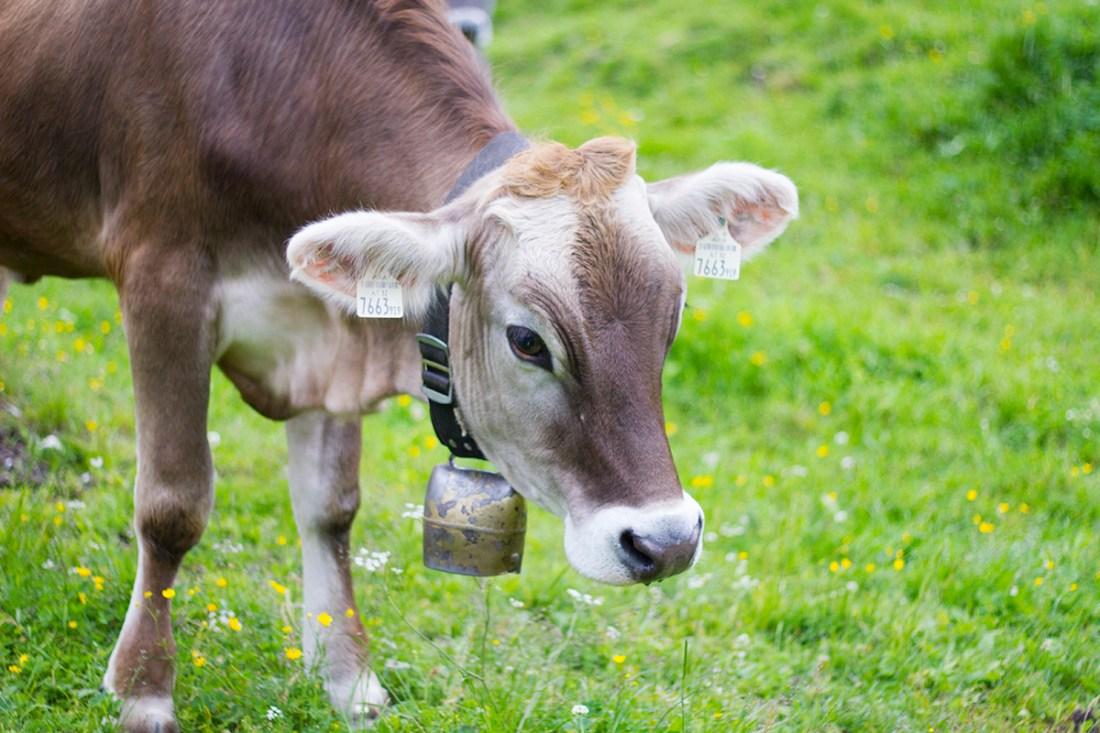 st-anton-cow-fields