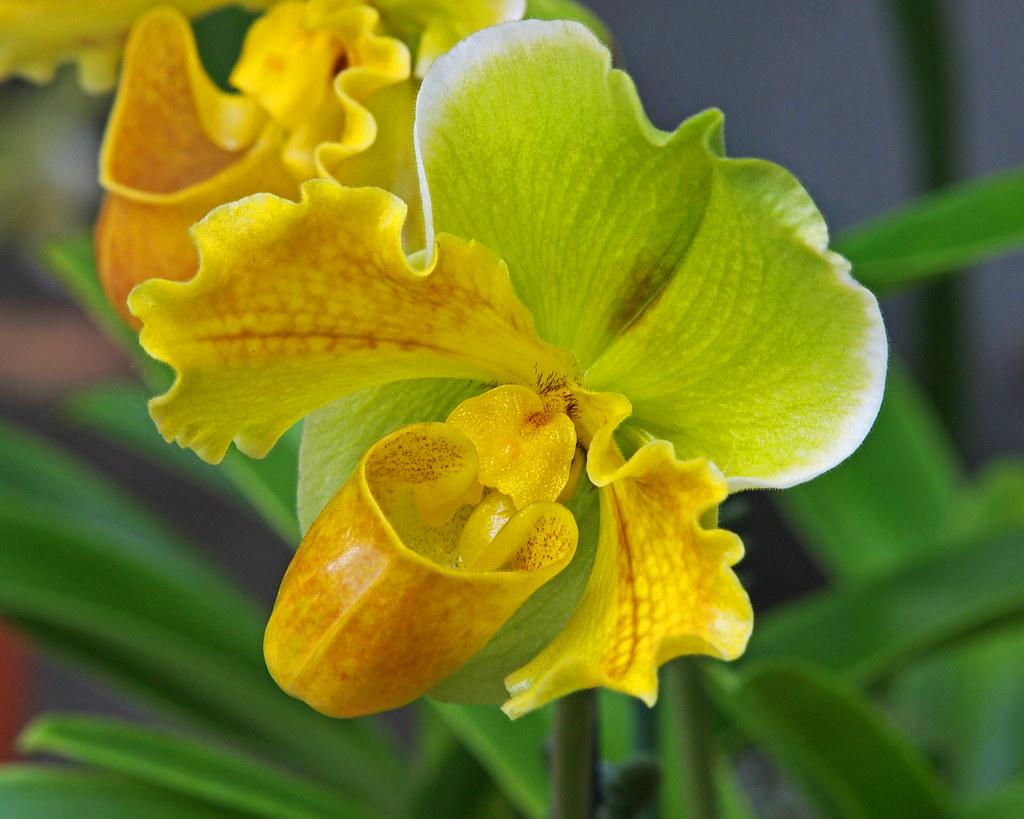 Yellow Bucket Orchid National Botanic Garden Orchid