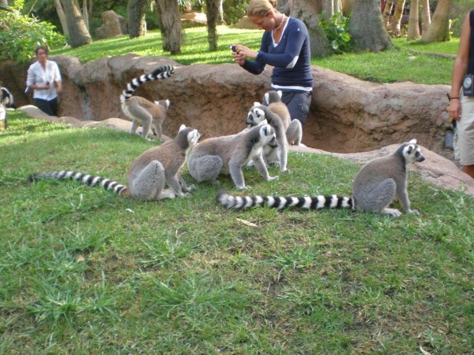 Lemur de cola anillada Zoo Bioparc Fuengirola Malaga 5939