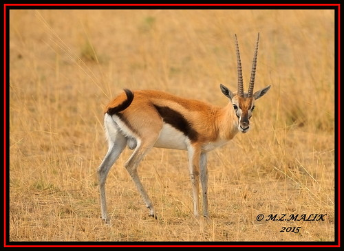 THOMSON'S GAZELLE (Gazella thomsoni)......MASAI MARA......… | Flickr