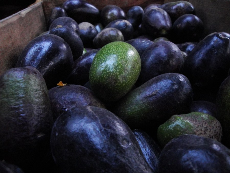 Image result for aguacate criollo
