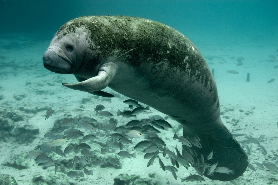 Manatee south Florida mothers Day deerfield beach adopt boca raton