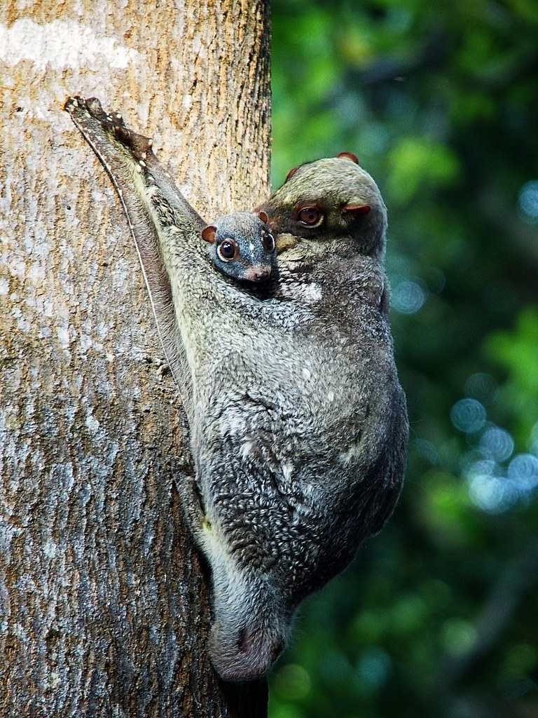 Colugo With Baby Flying Lemur Unique Picture Taken