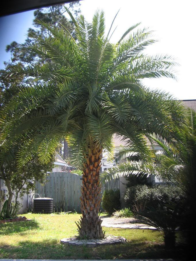 Eecha Maram The Latin Name For This Tree Is Sylvestris
