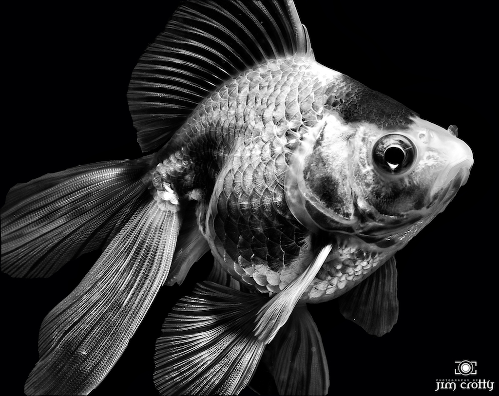 Goldfish In Black And White By Jim Crotty