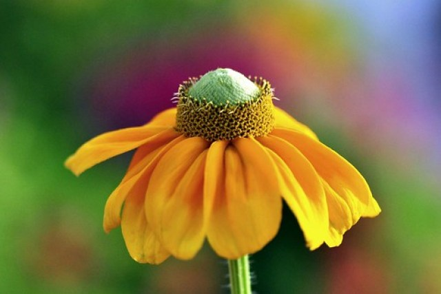 Summer colours , Rudbeckia