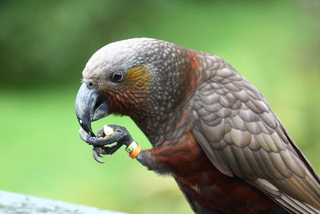 Nz Parrot (Kaka) Nestor meridionalis