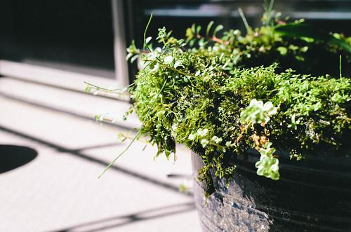 睡蓮鉢のへりで水上葉となったウィローモスは、この夏で睡蓮鉢から垂れ下がるくらいに成長した。